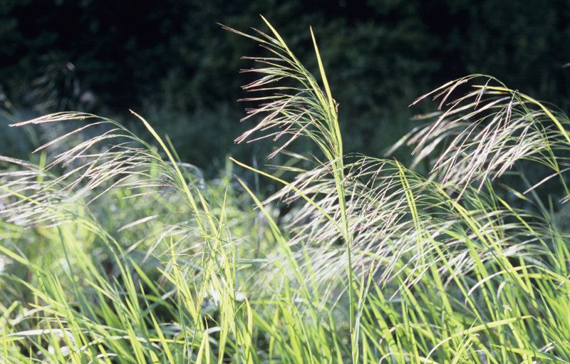 Summer Grasses (Great Brome)