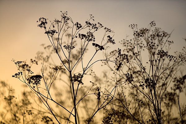 Cow Parsley Dawn