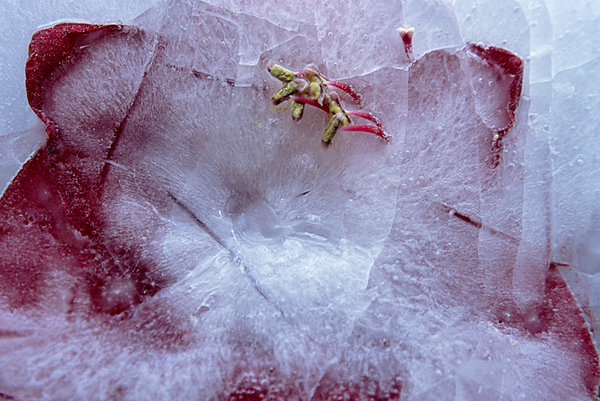 Ice Flower XXXVIII